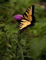 Bullthistle & Monarch Butterfly